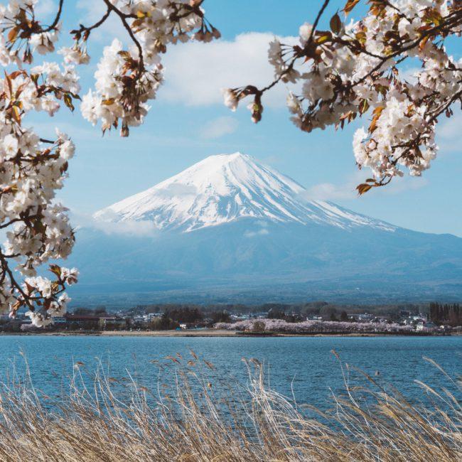 Mt. Fuji and cherry blossom [David Tan]