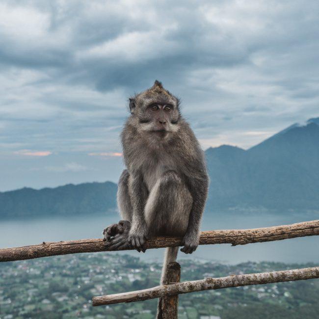 Monkey in Bali top of Mountain [David Tan]